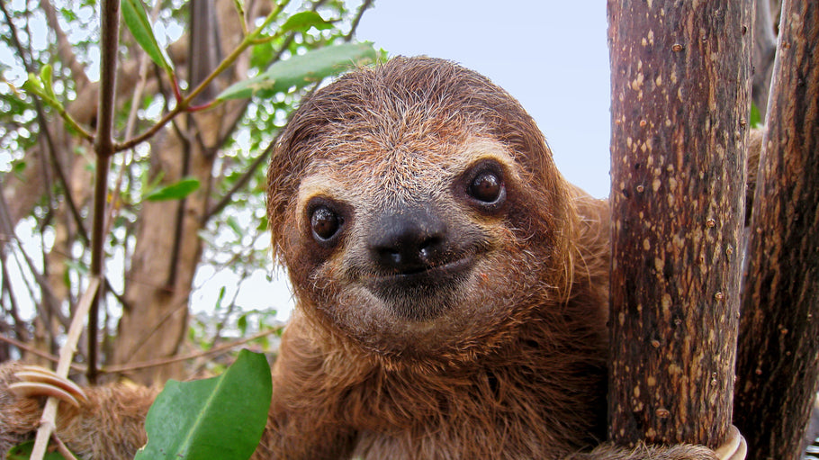 The Sloth - 75 Interesting Facts You Didn't Know