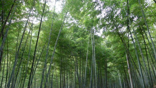 Bamboo grove in Fujian, China circa 2005 - bambu