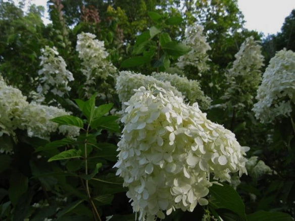 Hydrangea paniculata 'Limelight' hedge
