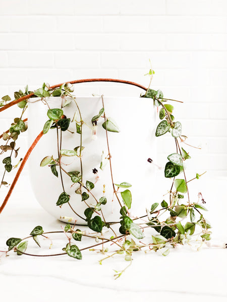 Chain of Heart Ceropegia Woodii | Easy Indoor Plant | Interior Jungle