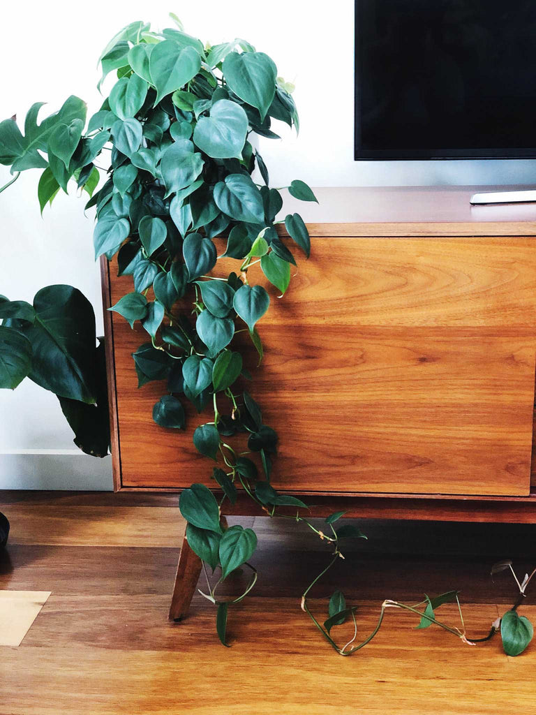 2-metre long Heart Leaf Philodendron | Interior Jungle