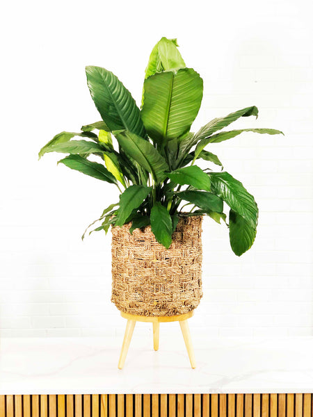 Peace Lily | Easy Indoor Plants | Interior Jungle