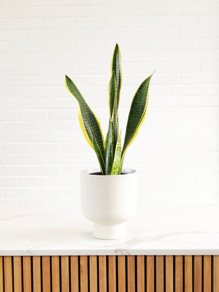 Snake Plant/ Mother-in-law's tongue | Easy Indoor Plants | Interior Jungle
