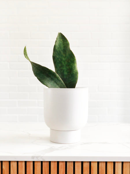 Whale Fin Snake Plant | Easy Indoor Plants | Interior Jungle
