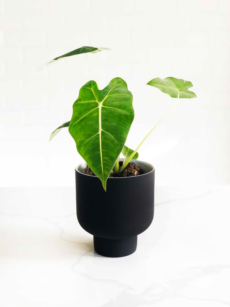 Alocasia 'Green Velvet' |  | Interior Jungle