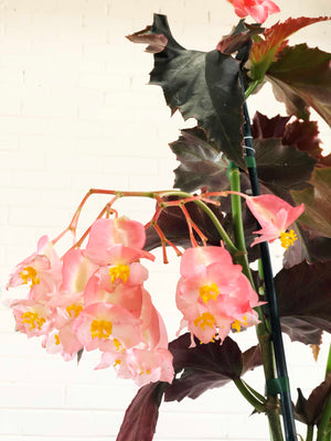 "Begonia ""Irene Nuss"" 
