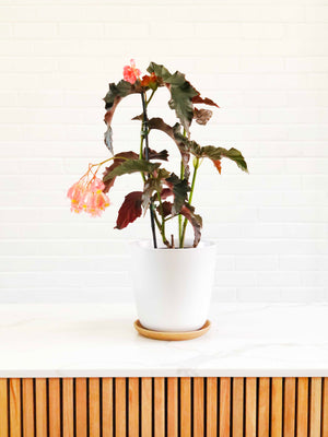 "Open image in slideshow, Begonia ""Irene Nuss"" 