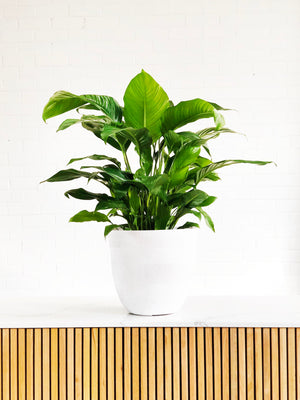 Peace Lily Sphathiphyllum |  | Interior Jungle