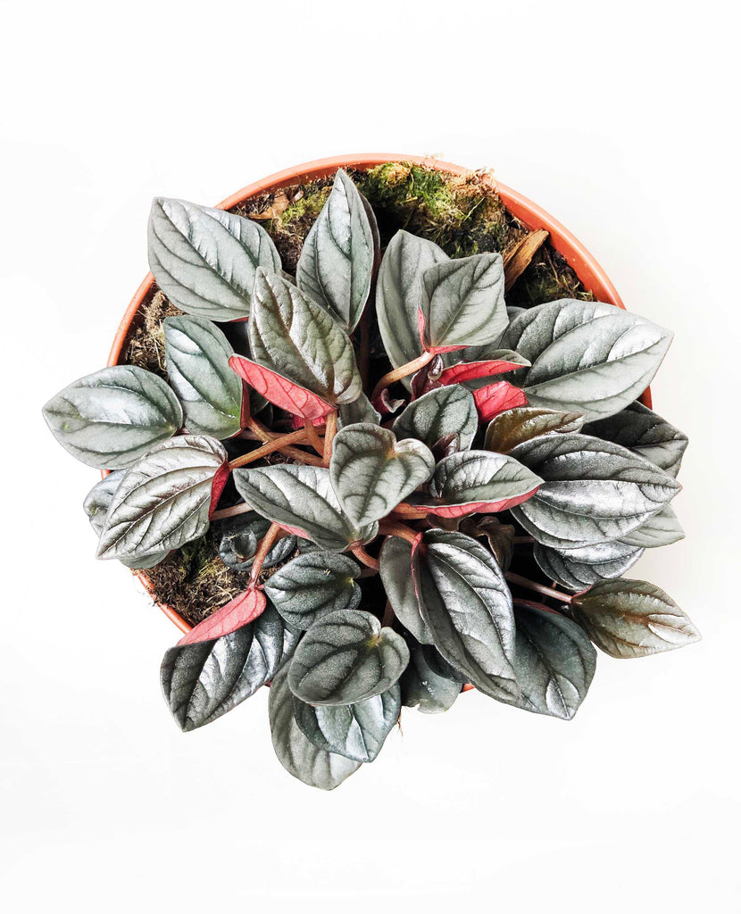 Peperomia Sunrise |  | Interior Jungle