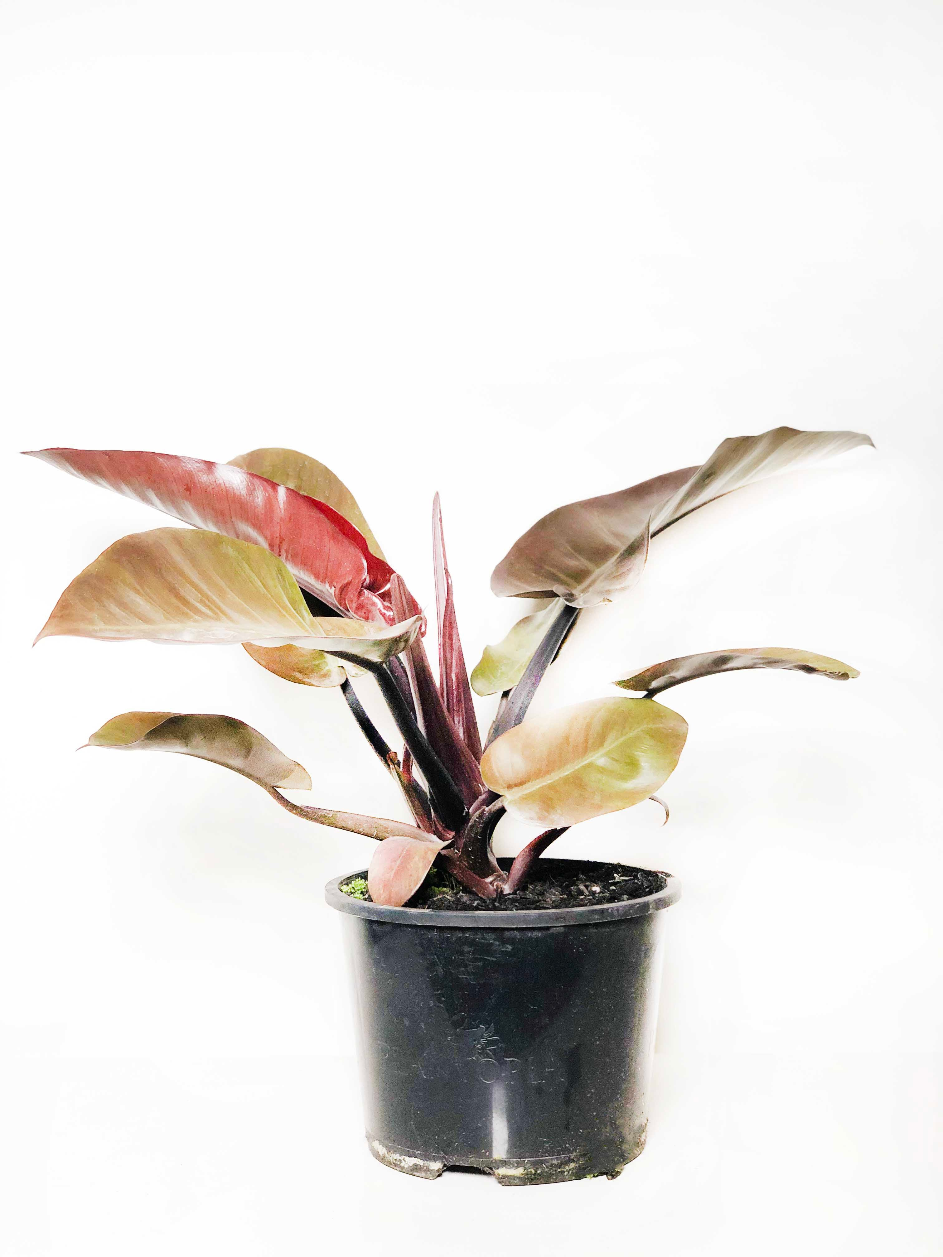 Philodendron Black Cardinal |  | Interior Jungle