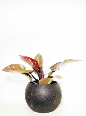 Open image in slideshow, Philodendron Black Cardinal |  | Interior Jungle