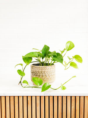 Open image in slideshow, Pothos Green Dragon Hanging Basket (Epipremnum Aureum) | Indoor Plants | Interior Jungle
