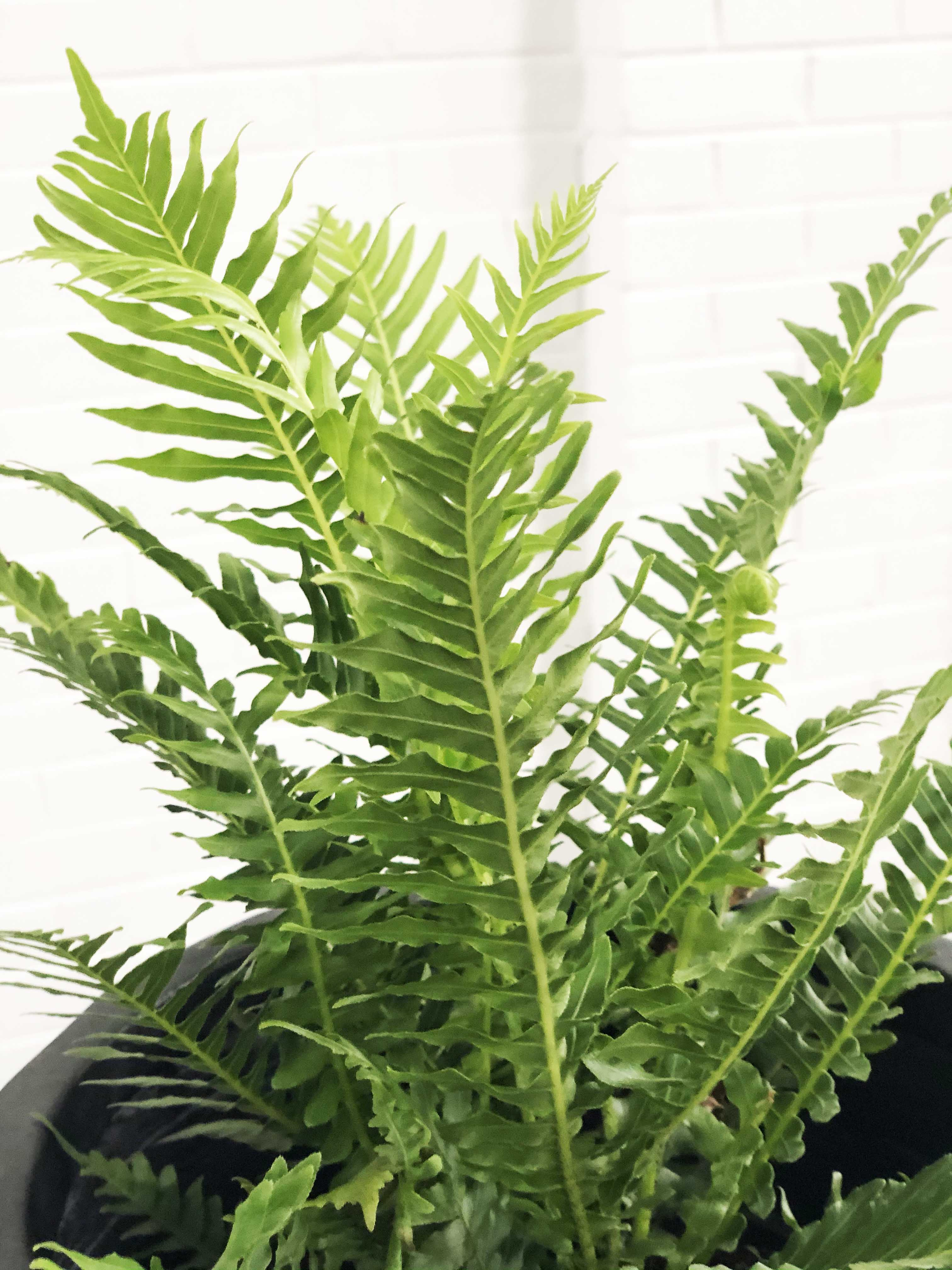 Silver Lady Fern (Dwarf Tree Fern - Blechnum gibbum) |  | Interior Jungle