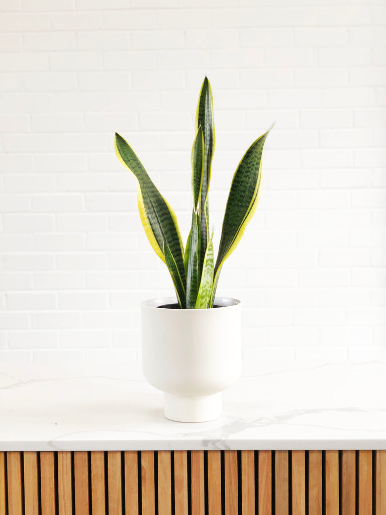 Snake Plant/ Mother-in-law's tongue |  | Interior Jungle