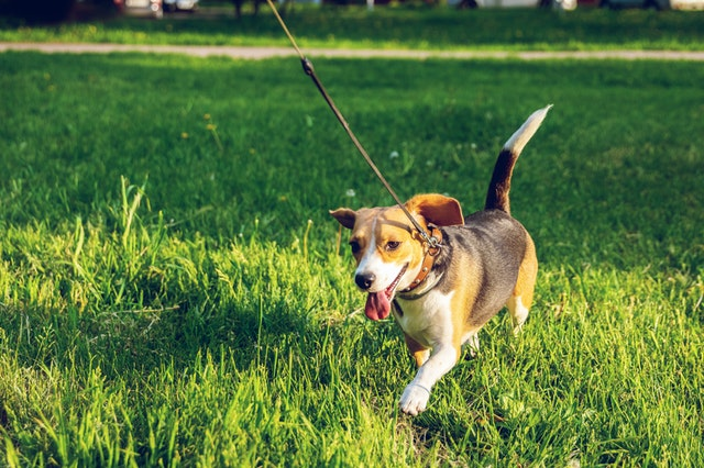 How to Walk Your Dog to Keep Them Physically and Mentally Stimulated