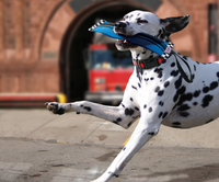 Dalmatian running with kong dog toy