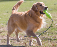 golden retriever with tug-of-war toy