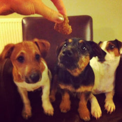 Jack Russell trio enjoying treats