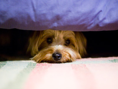 Dog hiding from fireworks