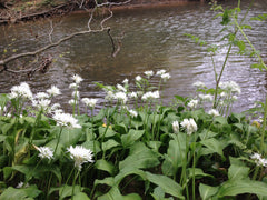 Wild garlic along the banks of the River Mole