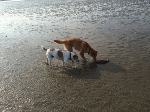 Dogs paddling in the sea at Camber Sands