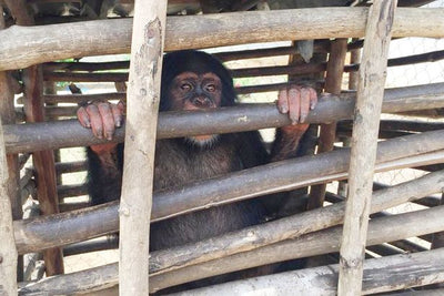 THIS IS NOT OK ! MONKEYS SLAUGHTERED IN CRUEL BUSHMEAT TRADE THEN SMUGGLED INTO THE UK -