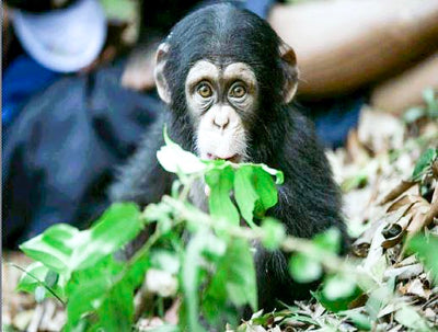 THE METAL STRAW ADOPTS ITS 3RD CHIMPANZEE AT THE TACUGAMA SANCTUARY IN SIERRA LEONE - MEET FIFO