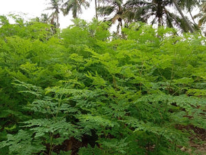 Benefits of Moringa Leaf Powder and How to consume it