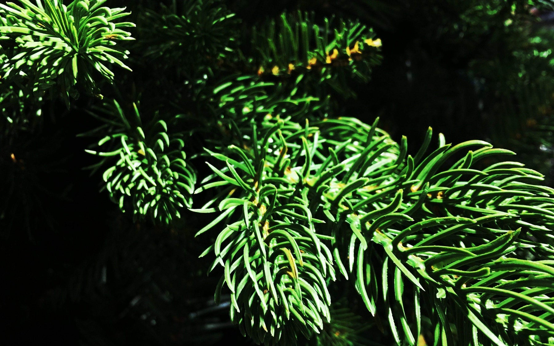 Christmas trees: the real deal or artificial?