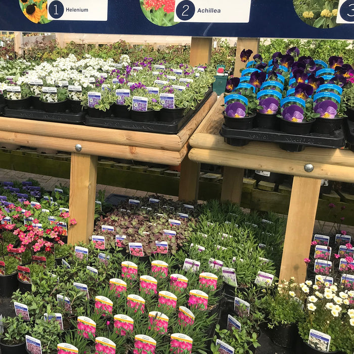 Rentes Plants Plants 12 Alpines (Mid Ulster Mixed Selection) with FREE Local Delivery
