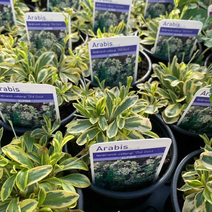 Mid Ulster Garden Centre Plants 12 Alpines (Mid Ulster Mixed Selection) with FREE Local Delivery
