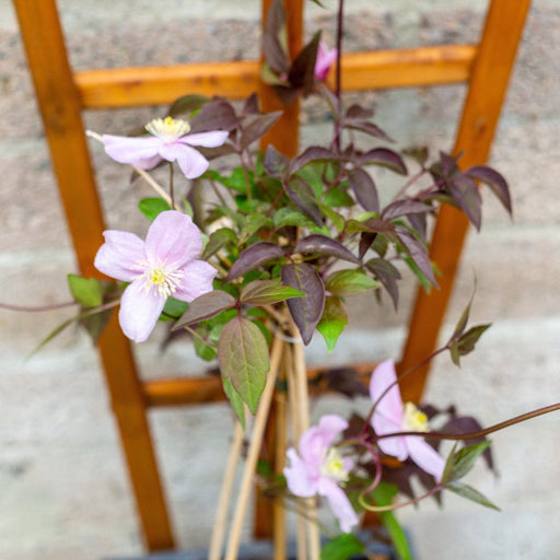 Mid Ulster Garden Centre Gardening Clematis Montana Mayleen 2L with 3 Canes