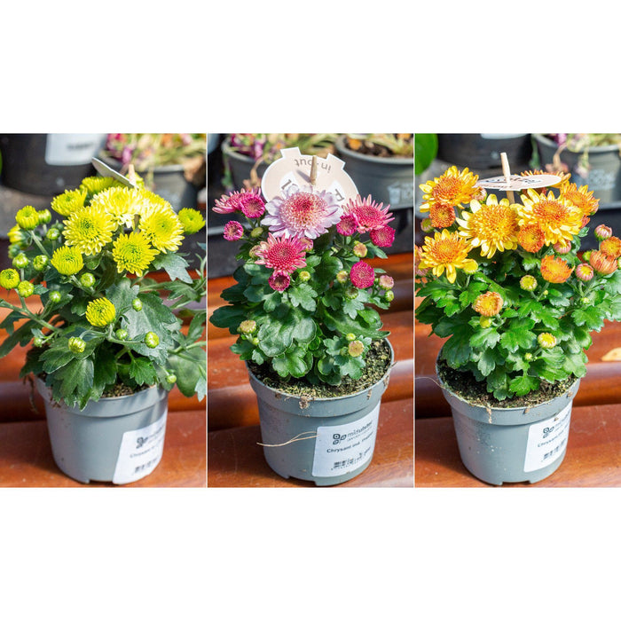 Mid Ulster Garden Centre Gardening Elho Barcelona All-In-One Hanging Flower Pots With Chrysanthemum Pretzel in Grey or Taupe