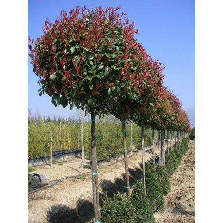 Red Robin / Christmas Berry Photinia x frazeri Red Robin  1.5 metre stem