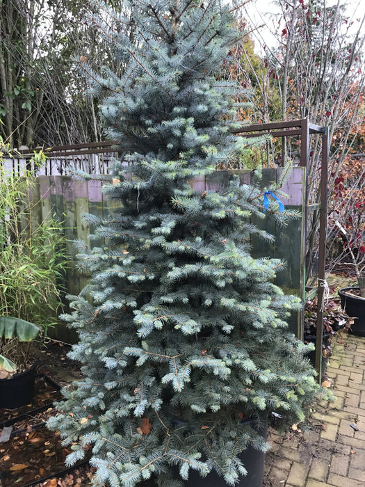 Blue Spruce Edith Picea Pungens Edith 250cms +in 200 litre pot - Mid Ulster Garden Centre, Ireland
