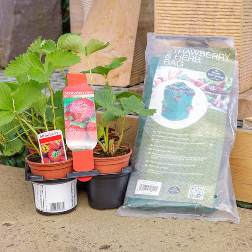 Mid Ulster Garden Centre Gardening Punnet of 6 Strawberry Plants Complete With A Garland Strawberry and Herb Growing Bag