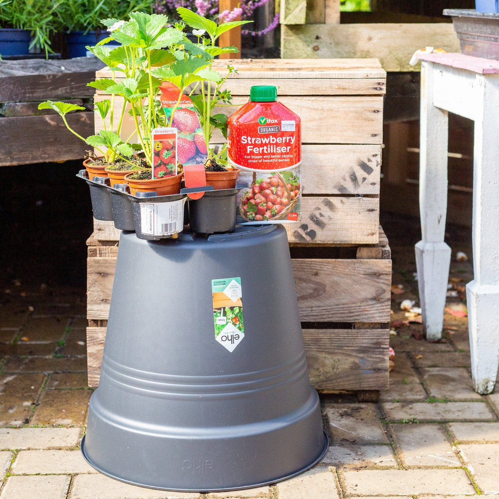 Mid Ulster Garden Centre Gardening Punnet of 6 Strawberry Plants Complete With An Elho Pot and Strawberry Feed
