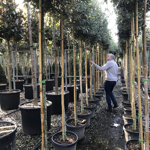 Evergreen or Holm Oak - Quercus Ilex 2 metre stems good full heads - Mid Ulster Garden Centre, Ireland