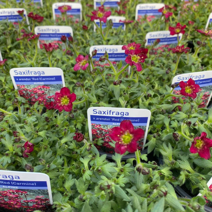 Rentes Plants Plants Alpines Managers Mix