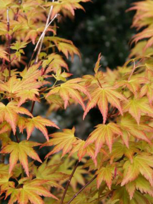 Mid Ulster Garden Centre Specimen Plants Acer Palmatum Orange Dream 125-150 CL15
