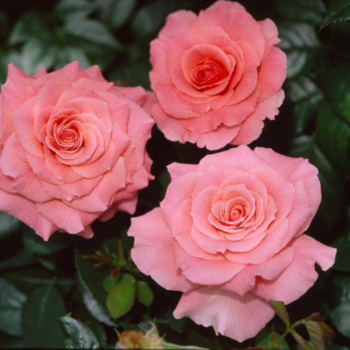 Whartons Plants Whartons Floribunda Rose Tickled Pink Rich Pink