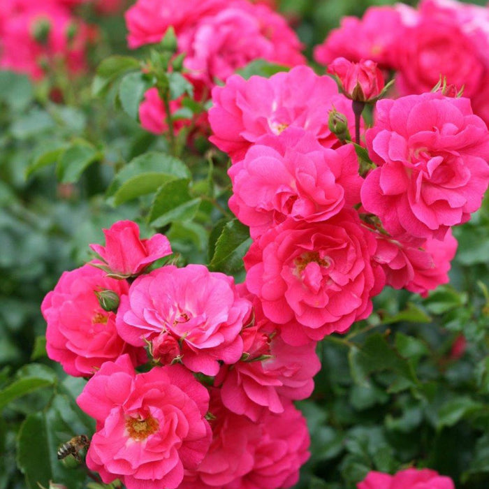 Whartons Plants Whartons Ground Cover Rose Flower Carpet Pink 3L