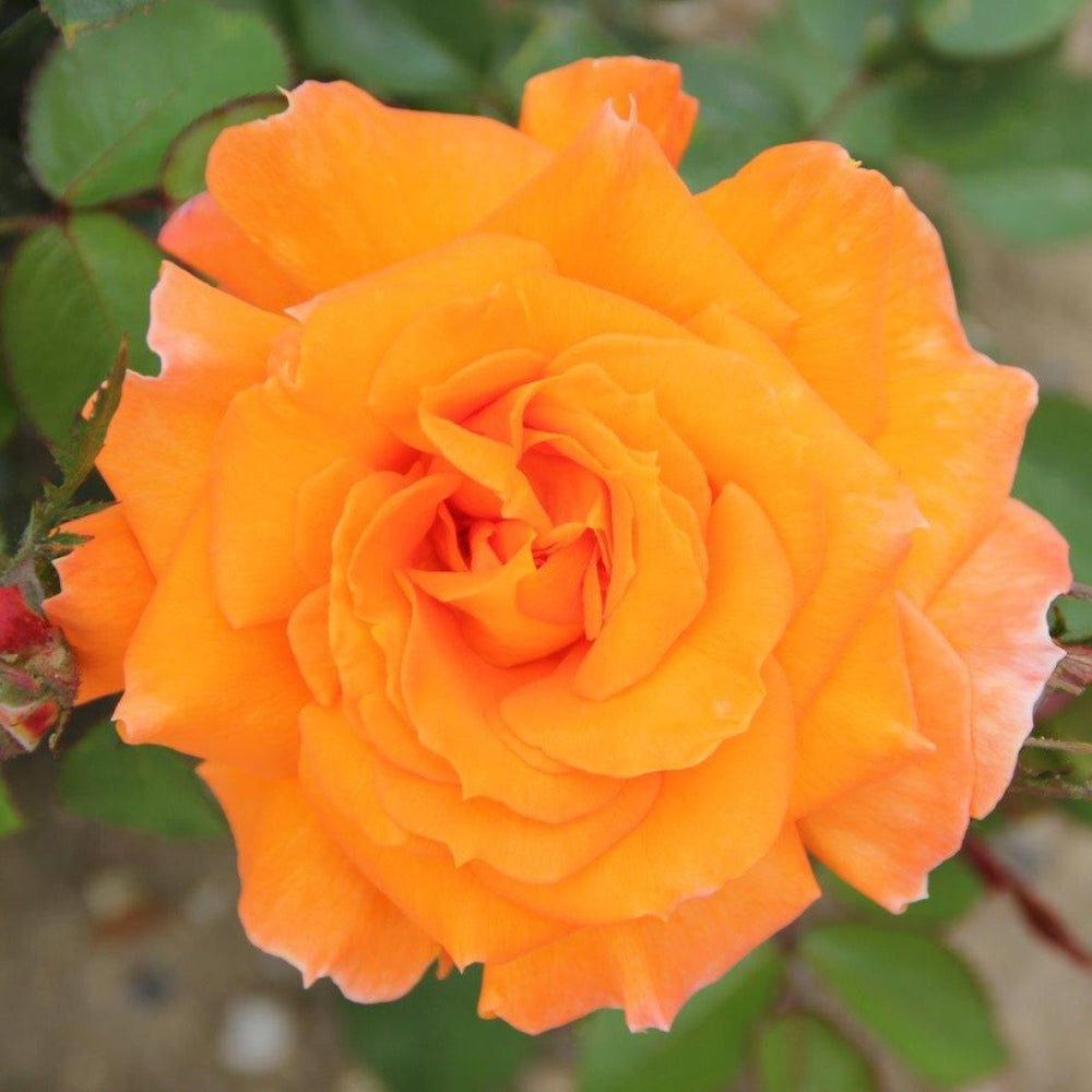 Whartons Plants Whartons Hybrid Tea Rose Sparkle Orange 3L