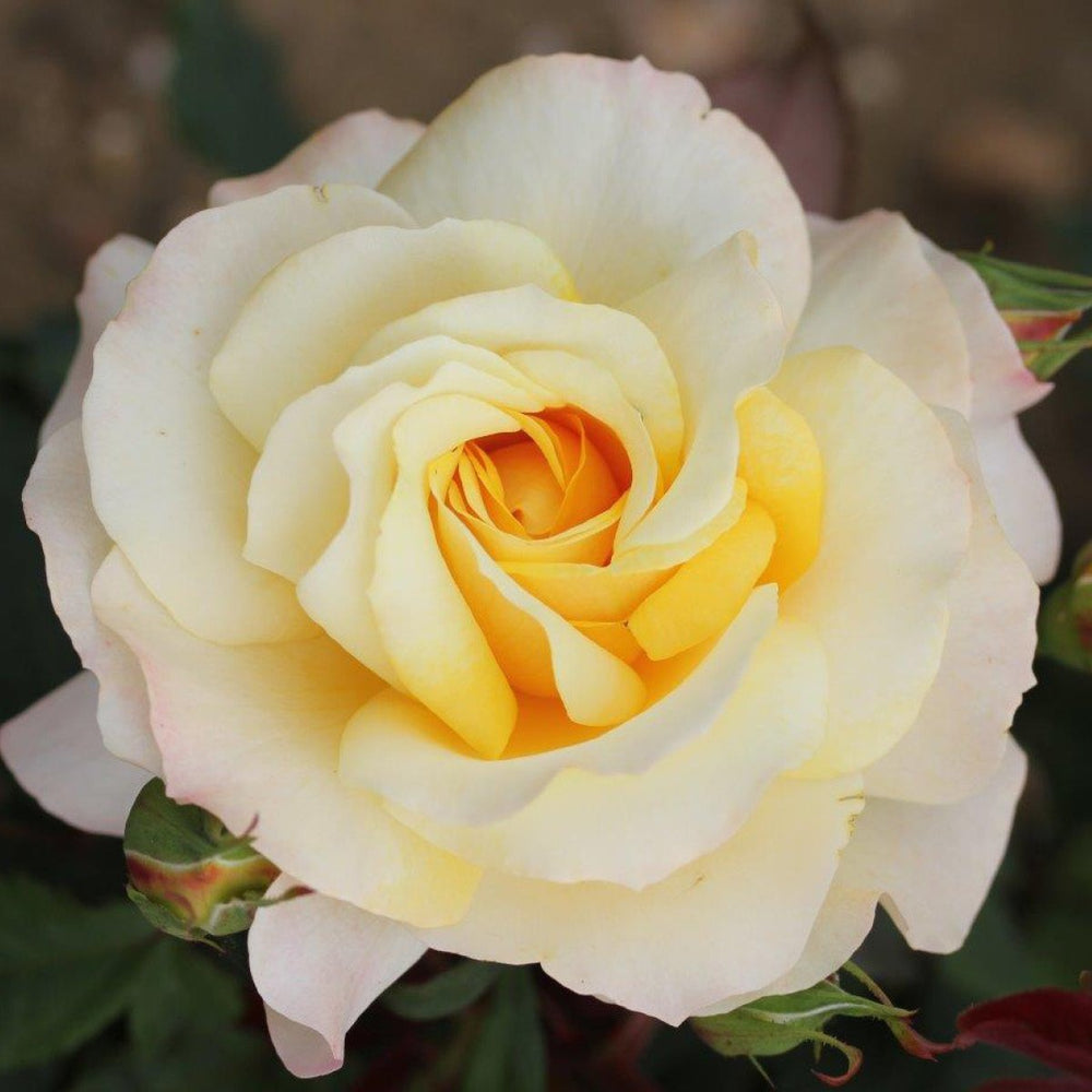 Whartons Plants Whartons Hybrid Tea Rose Sunny Sky Honey Yellow 3L