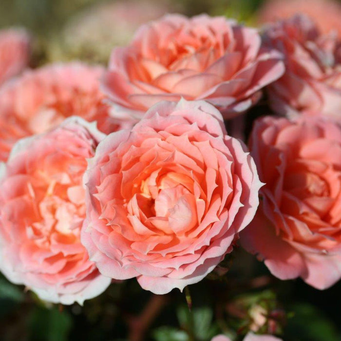 Whartons Plants Whartons Patio Rose Flower Power Peachy Salmon 3L