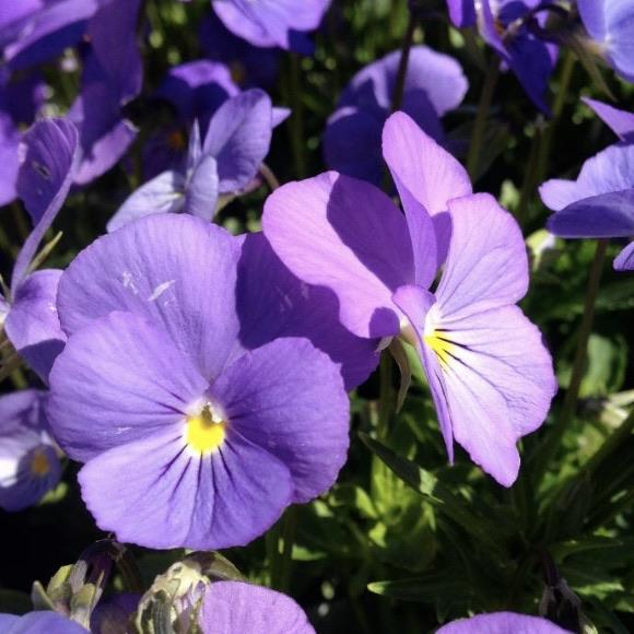 Griffioen Perennials Viola Cornuta 'Blue Perfection'