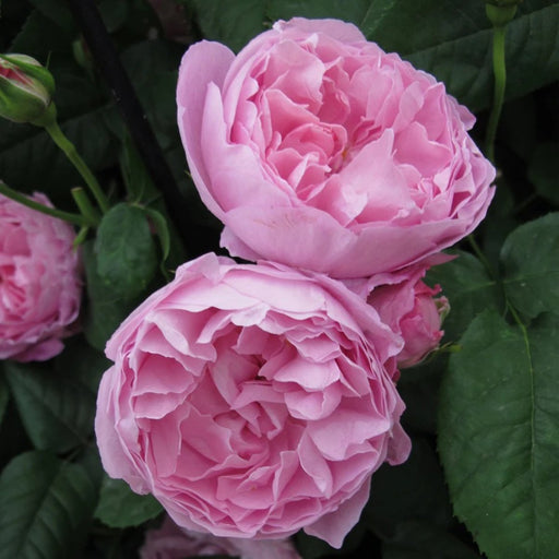 Rentes Plants Plants David Austin Rose Mary Rose 5L