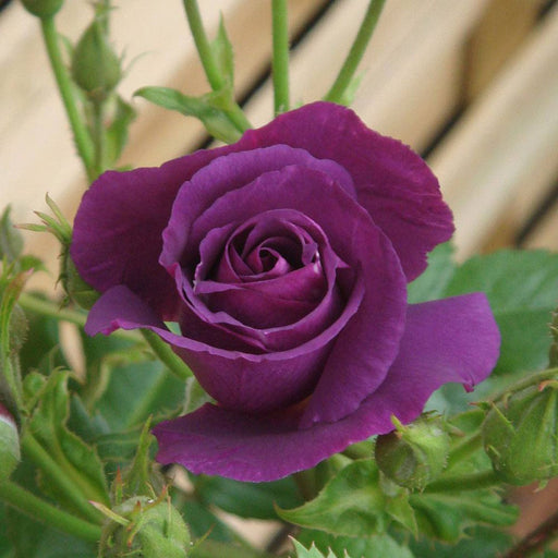 Rentes Plants Plants Floribunda Rose Rhapsody in Blue 7.5L