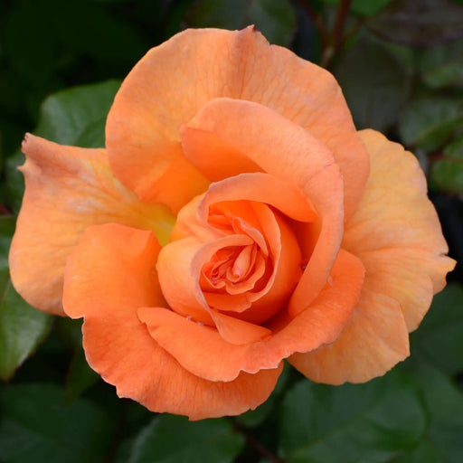 Rentes Plants Plants Hybrid Tea Rose Doris Tysterman 3.5L
