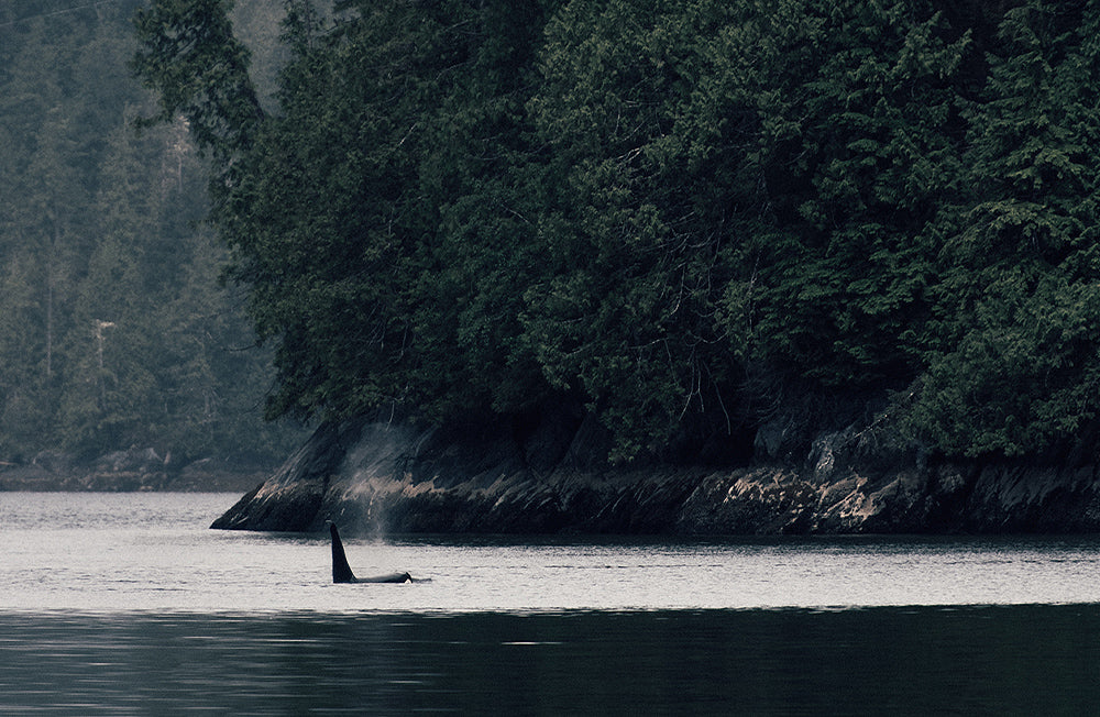The fin of an Orca can be seen infront of a misty forest backdrop